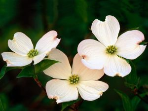 Flowering Dogwood Blossoms